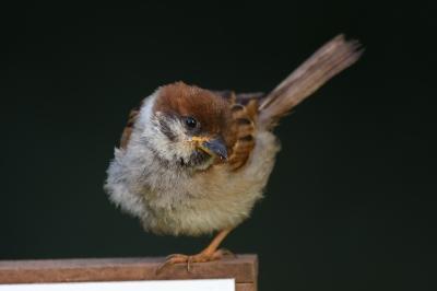 soku_35169.jpg :: 動物 鳥 雀 スズメ