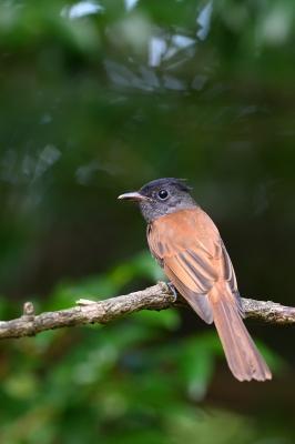 soku_35170.jpg :: 動物 鳥 野鳥 自然の鳥 サンコウチョウ
