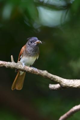 soku_35171.jpg :: 動物 鳥 野鳥 自然の鳥 サンコウチョウ