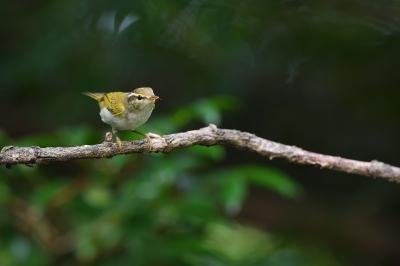 soku_35172.jpg :: 動物 鳥 野鳥 自然の鳥 センダイムシクイ
