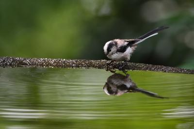 soku_35173.jpg :: 動物 鳥 野鳥 自然の鳥 エナガ