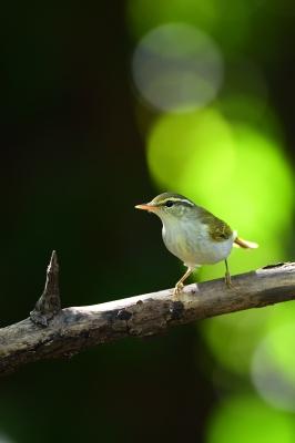soku_35174.jpg :: 動物 鳥 野鳥 自然の鳥 センダイムシクイ