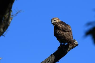soku_35175.jpg :: 動物 鳥 野鳥 自然の鳥 猛禽 ノスリ