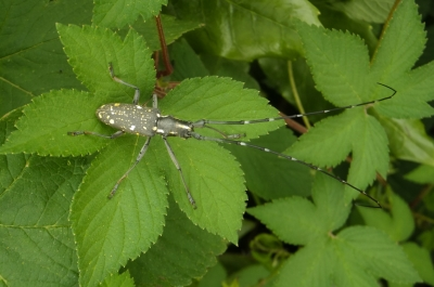 soku_35179.jpg :: 動物 昆虫 カミキリムシ科 キボシカミキリ♂