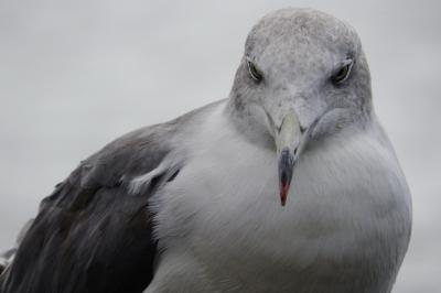 soku_35180.jpg :: 動物 鳥 鷗 カモメ ウミネコ