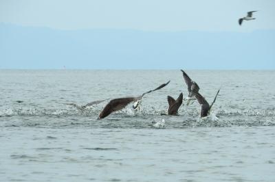 soku_35183.jpg :: 動物 鳥 鷗 カモメ ウミネコ 漁