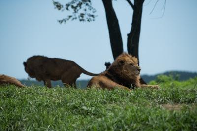 soku_35197.jpg :: 動物 哺乳類 ライオン 猛獣