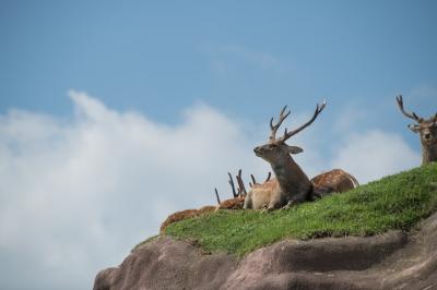 soku_35198.jpg :: 動物 哺乳類 鹿 シカ