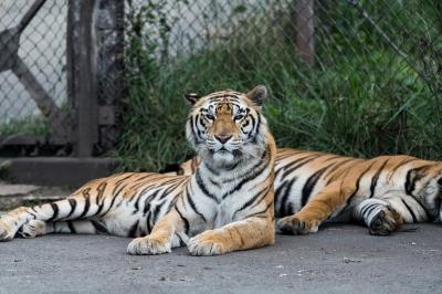 soku_35199.jpg :: 動物 哺乳類 虎 トラ 猛獣