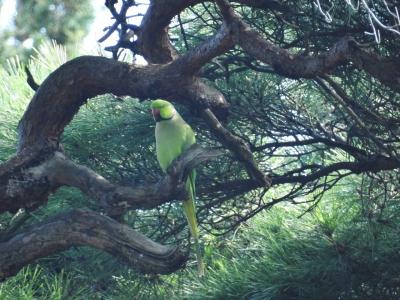 soku_35206.jpg :: 小鳥 ワカケホンセイインコ