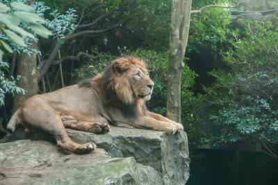 soku_35228.jpg :: 動物 哺乳類 ライオン 猛獣