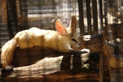 soku_35233.jpg :: 井の頭自然文化園 フェネックギツネ 動物園