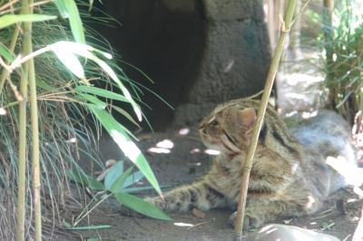 soku_35235.jpg :: 井の頭自然文化園 ツシマヤマネコ 動物園
