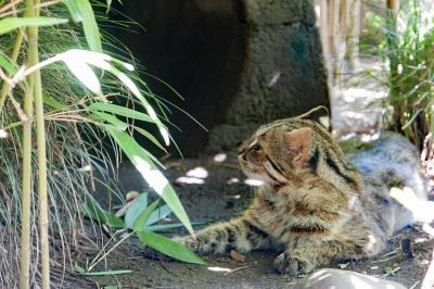 soku_35236.jpg :: 井の頭自然文化園 動物園 ツシマヤマネコ