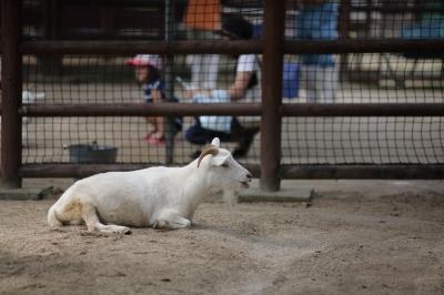 soku_35239.jpg :: 熊本市動植物園 動物 家畜 ヤギ