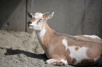soku_35240.jpg :: 熊本市動植物園 動物 家畜 ヤギ