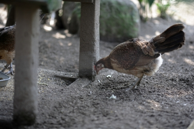 soku_35241.jpg :: 熊本市動植物園 動物 鳥 鶏 ニワトリ