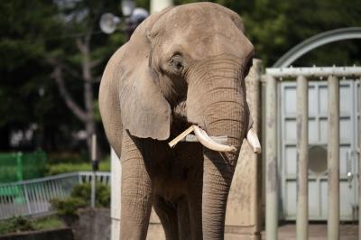 soku_35244.jpg :: 熊本市動植物園 動物 哺乳類 象 ゾウ