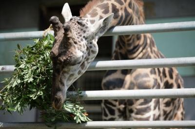 soku_35245.jpg :: 熊本市動植物園 動物 哺乳類 キリン
