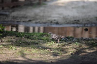 soku_35247.jpg :: 熊本市動植物園 動物 鳥 鳩 ハト
