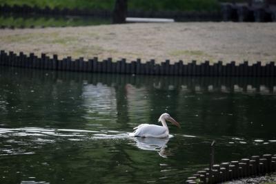 soku_35248.jpg :: 熊本市動植物園 動物 鳥 ペリカン