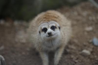 soku_35251.jpg :: 安佐動物公園, ミーアキャット