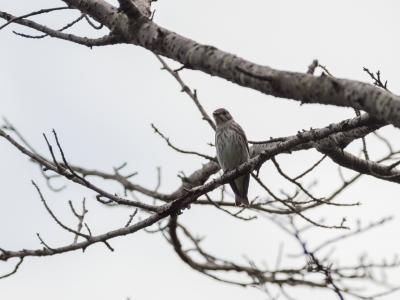 soku_35256.jpg :: 動物 鳥 野鳥 自然の鳥 エゾビタキ