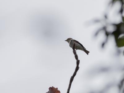 soku_35257.jpg :: 動物 鳥 野鳥 自然の鳥 サメビタキ