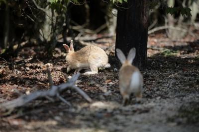 soku_35269.jpg :: 大久野島のうさぎ。 動物 哺乳類 兎 ウサギ