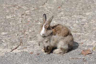 soku_35270.jpg :: 大久野島のうさぎ。 動物 哺乳類 兎 ウサギ