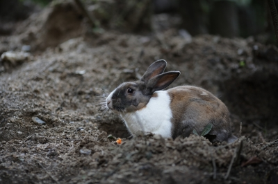 soku_35271.jpg :: 大久野島のうさぎ。 動物 哺乳類 兎 ウサギ