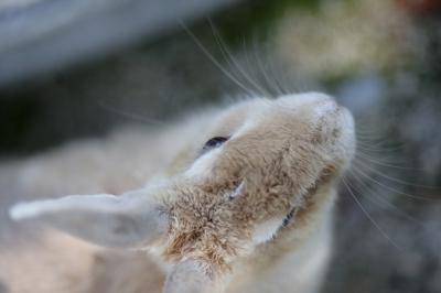 soku_35272.jpg :: 大久野島のうさぎ。 動物 哺乳類 兎 ウサギ