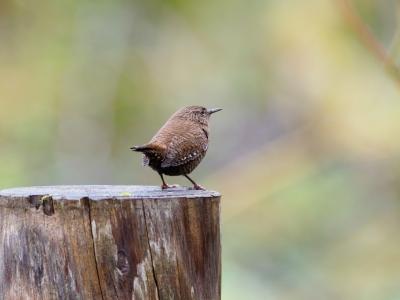 soku_35277.jpg :: 動物 鳥 野鳥 自然の鳥 ミソサザイ