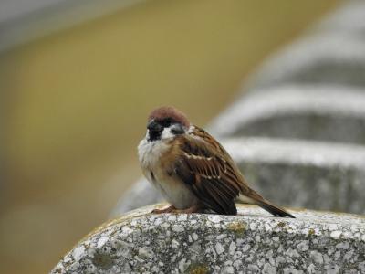 soku_35280.jpg :: 自然の鳥 小鳥 スズメ