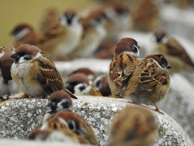 soku_35282.jpg :: 自然の烏 小鳥 スズメ