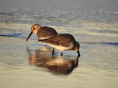 soku_35302.jpg :: 野鳥 自然の鳥 ハマシギ