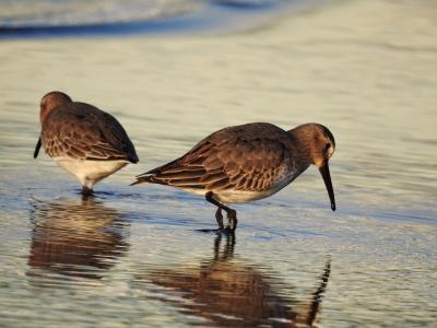 soku_35303.jpg :: 野鳥 自然の鳥 ハマシギ