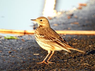 soku_35304.jpg :: 自然の鳥 野鳥 タヒバリ