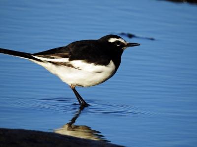 soku_35305.jpg :: 自然の鳥 野鳥 セグロセキレイ