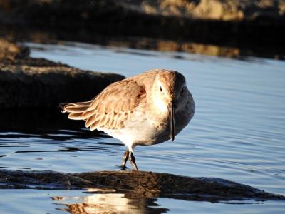 soku_35306.jpg :: 自然の鳥 野鳥 ハマシギ
