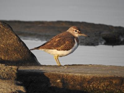soku_35314.jpg :: 自然の鳥 野鳥 イソシギ