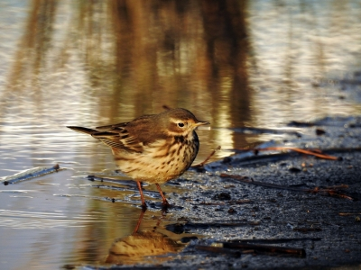 soku_35315.jpg :: 自然の鳥 野鳥 タヒバリ