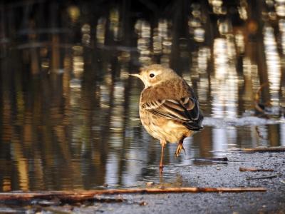 soku_35316.jpg :: 自然の鳥 野鳥 タヒバリ2