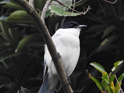 soku_35321.jpg :: 自然の鳥 野鳥 オナガ