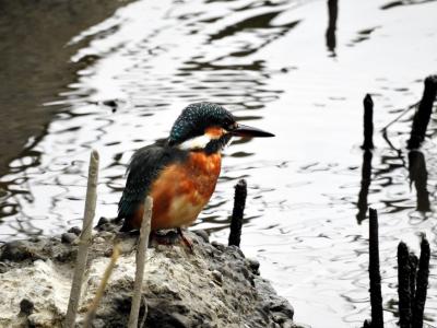 soku_35323.jpg :: 自然の鳥 野鳥 カワセミ2 翡翠2