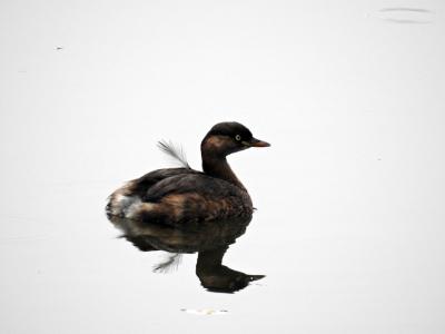 soku_35325.jpg :: 自然の鳥 野鳥 カイツブリ2