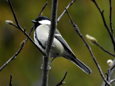 soku_35326.jpg :: 動物 鳥 野鳥 自然の鳥 シジュウカラ