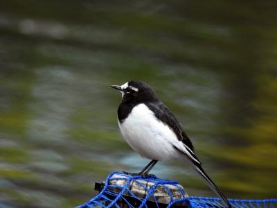 soku_35327.jpg :: 動物 鳥 野鳥 自然の鳥 セグロセキレイ