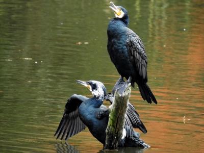 soku_35328.jpg :: 動物 鳥 野鳥 自然の鳥 カワウ