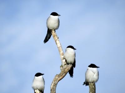 soku_35331.jpg :: 動物 鳥 野鳥 自然の鳥 オナガ